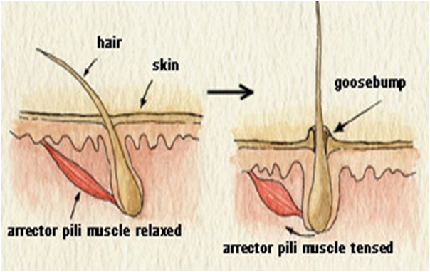 Arrector pili muscles responsible for Goosebumps2