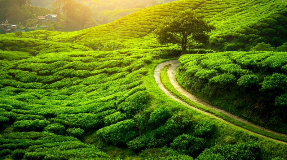 Tea Garden - Darjeeling